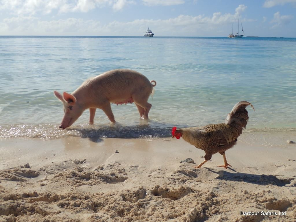 Swimming pigs excursion from nassau harbour safaris for Swimming chicken
