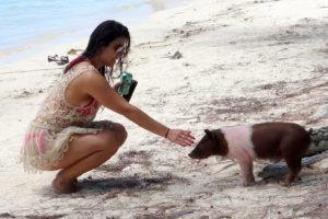 Spanish Wells Swimming Pigs