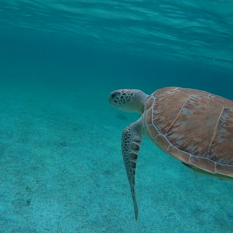 Rose Island Snorkel Turtle