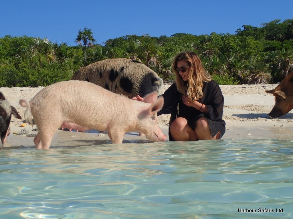 Cuddle with the swimming pigs!