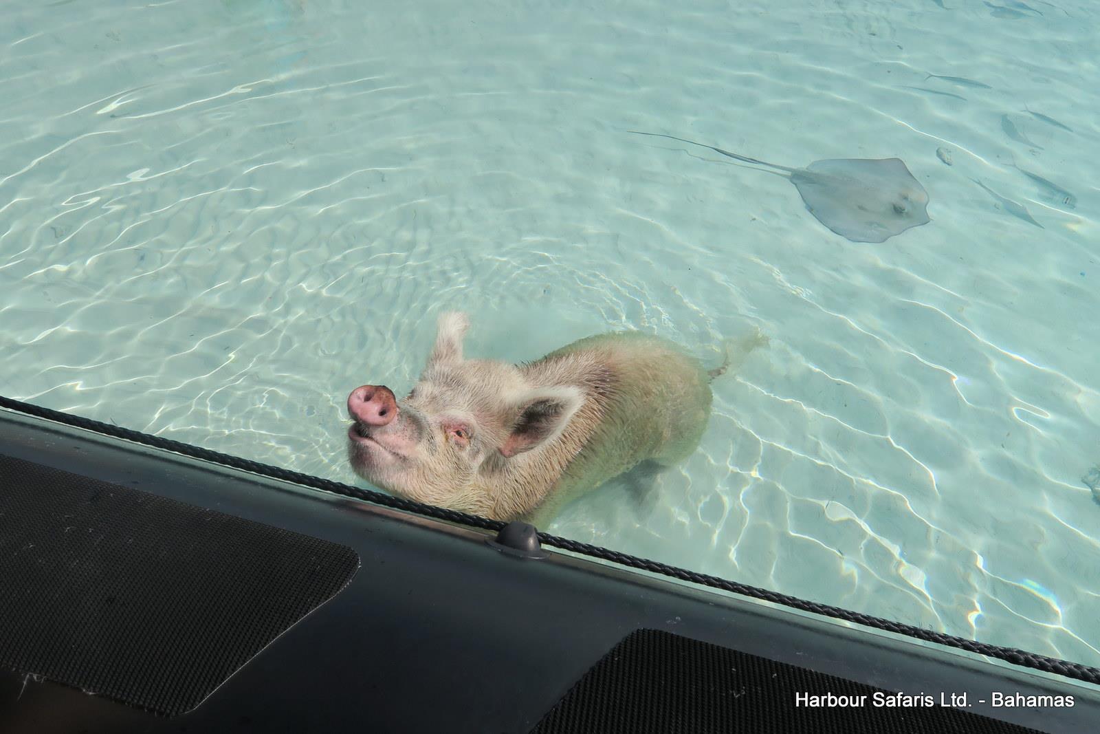 Swimming Pigs Nassau