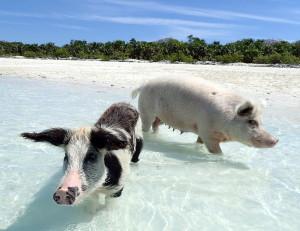 Pig Beach Proposal