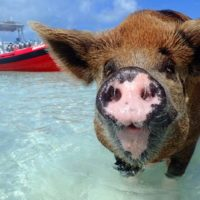 Swimming Pigs Nassau Exuma Bahamas