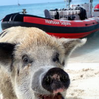 Swimming Pigs from Nassau